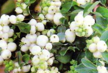 My Snowberries