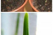 growing medjool date palms