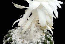 flores de Cassia