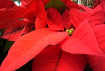 Holiday Season / Beautiful poinsettias, wreaths, trees, and more!