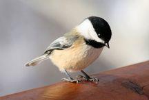 Chickadee bird / They are me