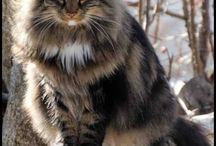 Gatto:  Main Coon, Norvegese, Pelo Lungo