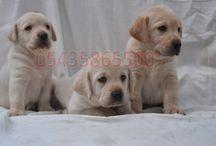 Satılık Labrador Yavruları / Satılık Labrador Retriever Yavrularımızın fiyatları ve ilanları için  http://labrador-retriever.yavruilani.com/