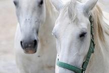 Lipicane Horses