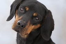 Austrian Black and Tan hound / by Allie The Dog Lover