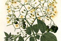 Laminas botanica