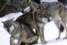 Foxes and Wolves / Volpi e Lupi