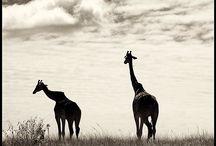 Masai Mara / Masai Mara Kenya