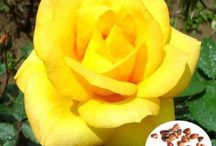 Yellow Rose Flower Seeds