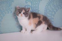 Британская кошка триколор / Британские кошки окрас с белым
