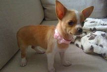 AYE CHIHUAHUA ❀⊱ℬℓinℊ & ℭ◎υ☂üґ℮⊰❀ / <3 ♡ <3 FOR US AND OUR FUR BABIES <3 ♡ <3