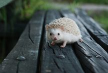 ANIMAL • Hedgehog