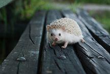 ANIMAL • Hedgehog