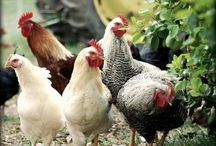 HENS AND ROOSTERS / by Kay Droege