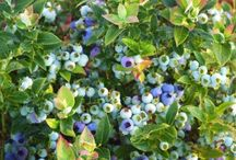 BrazelBerries