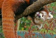 Red panda love xx