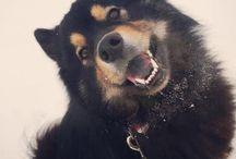 Akuma, ein Eurasier zum Verlieben / Hier gibt es Neuigkeiten über meinen lieben Wildfang Akuma. Viel Spaß