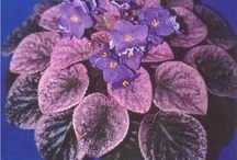 African Violets / by Cris