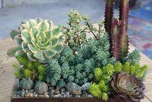 piante grasse composizioni