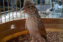 Bird Sounds - Kumpulan Suara Burung / Kumpulan Suara Burung, branjangan, anis merah, murai batu, cucak ijo, burung master lain.