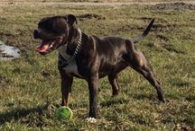 Staffordshire bull terrier (engelse stafford)