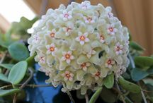 HOYA / Given enough light, Wax Plant will produce parachute clusters of star-shaped, white to pink flowers with five-point centers. Those flowers are so intricately detailed, uniformly shaped and shiny, they're sometimes called Porcelain Flower. You can expect Hoyas to bloom in the spring, summer or fall, depending on the variety.