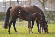 Le Hollandais Sang Chaud (KWPN) / Ils sont apparus aux Pays Bas au début du siècle dernier. À l'époque, les éleveurs cherchaient à développer des chevaux pour tirer les carrosses ou travailler dans les champs. Ils ont donc croisé deux races hollandaises, le Gelderlander, utilisé pour l'attelage léger et la mont, il apportait une grande taille, beaucoup de puissance, d'élégance et de la prestance, et le Groningen, qui venait du nord du pays pour l'attelage lourd, et qui apportait plus de rusticité, de solidité et de puissance.