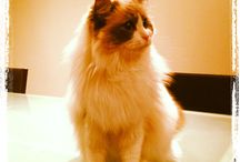 Squiggle the Ragdoll / Photos of Squiggle the cute kitty cat!! :D