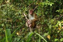 Singes / Des photos de singes que j'ai croisés au cours de mes voyages.