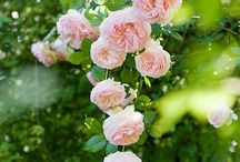Rose Garden / David Austin. The only rose!