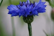 Kwiaty, przyjazne pszczołom/Bee friendly flowers