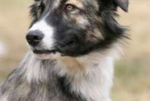 Atlas Mountain Dog - Aidi / Atlas Mountain Dog - Aidi  pictures