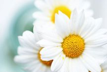 ✿⊱╮D.A.I.S.Y.  / Summery white petals with sunshine-yellow centers!   / by Carol Hardin