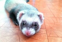 Our ferrets :)