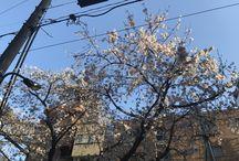 Cherry Blossom Sakura 2017