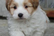Animals / This is a cute puppy I'm getting soon