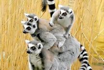 Lemurs / by Jessica Cole