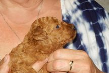 Tesha Toy Poodle / My puppy Tesha and her growing up / by Pauline McMillen