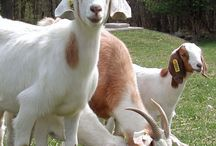 Goats, donkeys and others