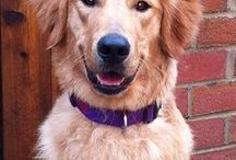 """Remembering The Heroes of The Golden Retriever Lifetime Study / This Pin is to remember some of the Golden Retriever """"Heroes"""" that have passed in The Golden Retriever Lifetime Study. They will always be heroes in our hearts forever."""