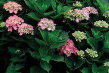 Hydrangeas / Pruning