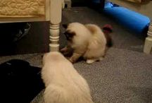 Seal Mitted Ragdoll Cats with Blazes
