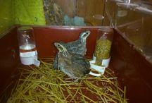 Virginiai fogasfürjek 2015 február / Születtek 2014 nyár végén Csibék áprilisban születtek (2 ezüst kakas, 1 vadas tojó)