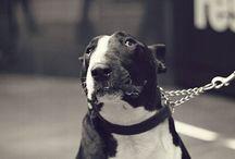 Bull terriers / Bruce