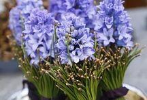 Svatba modrá - hyacintová