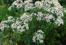 Aster à ombelles - Flat-top white aster (Doellingeria umbellata)