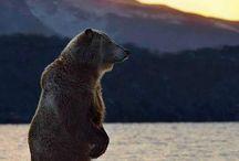 medvedi