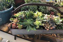 Franca's succulents ideas