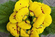 Calceolaria (pantoflíček): Václav Kovalčík, Zlín / dneska jsem koupil tyhle nádherně kvetoucí rostliny, které jsem přesadil (březen 2018).