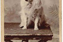 Keeshond / Mooiste honden